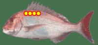 Yamato Scale Fish Analyzer Sea Bream